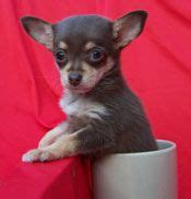 teacup puppies chicago best 25 puppy store ideas on