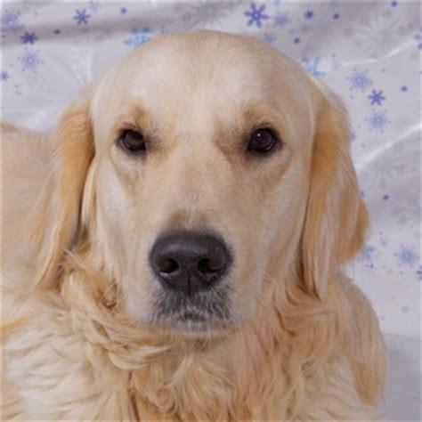 ta golden retriever rescue golden retriever breeder in the uk golden retriever puppies for sale golden