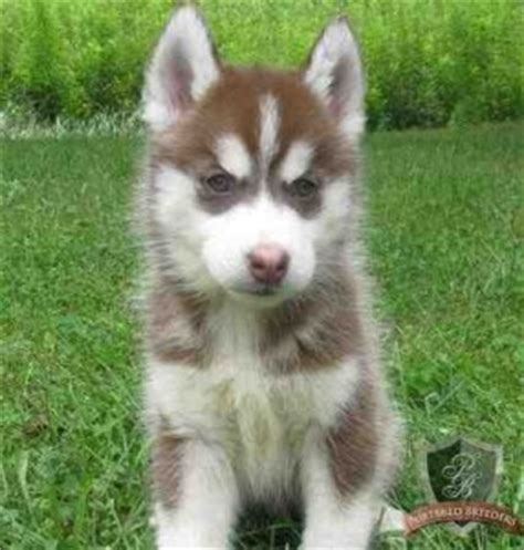 husky puppies for sale in mo siberian husky puppies for sale in panama city fl motorcycle review and galleries