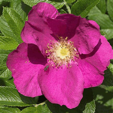 wild prairie rose rosa arkansana rosa arkansana prairie wild rose wildflower seed