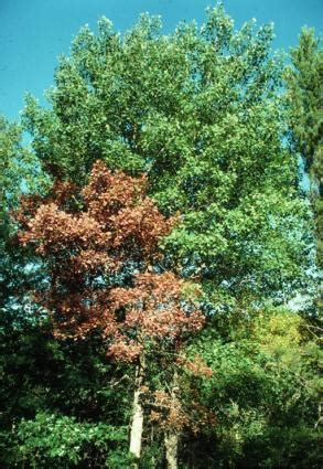signs is dying signs that a tree is dying lovetoknow