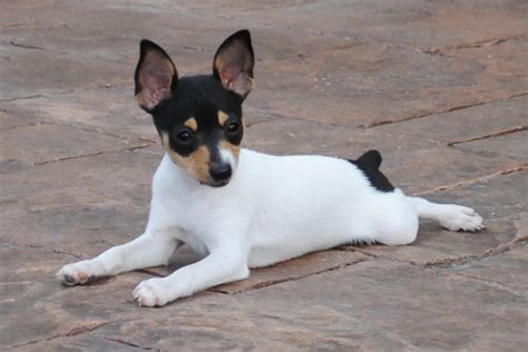 smooth fox terrier puppies for sale fox terrier puppies for sale from reputable breeders