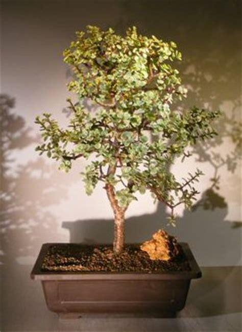 baby jade bonsai tree variegatedportulacaria afra