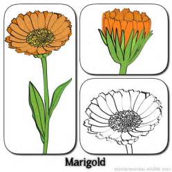 Marigold Flower Pictures, Picture of Marigold Flowers  Calendula