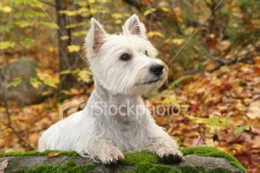 styles of clips for west highland terriers westie haircut styles search results hairstyle galleries