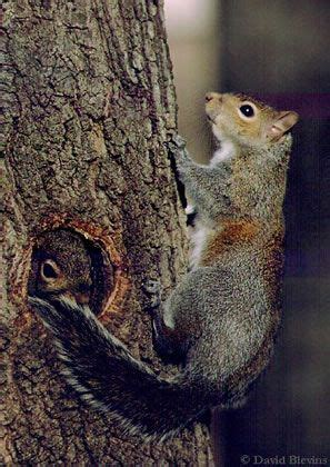squirrels live in trees year round either in cavities or