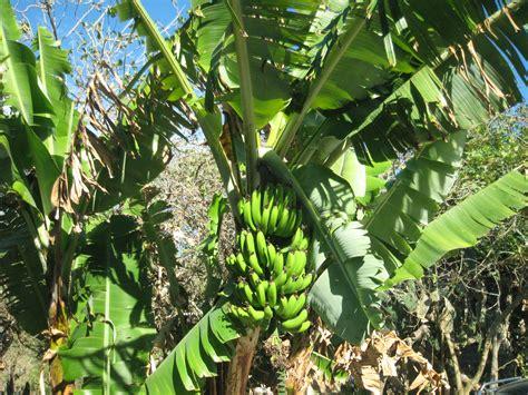trees that heal and feed banana trees lilianausvat