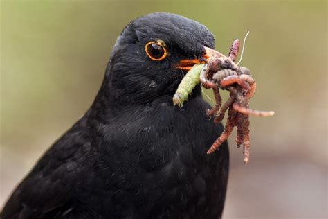 eurasian blackbird new zealand birds online