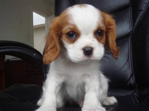 king charles puppy puppies breed information image pictures cavalier king charles spaniel puppies