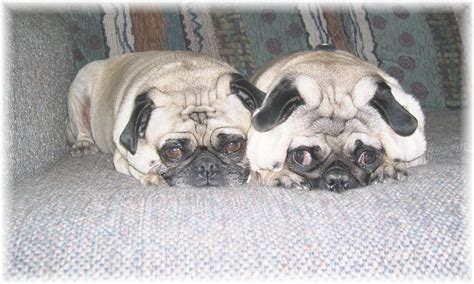 pug club of the pug page