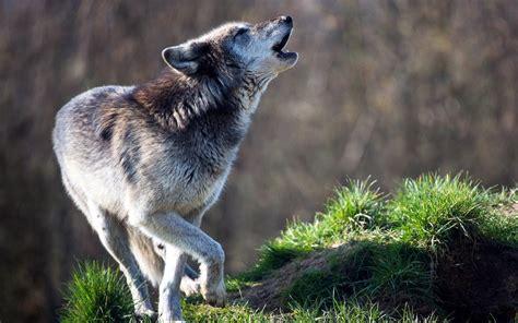 howling meaning wallpaper wolf predator howling grass hd widescreen high definition fullscreen