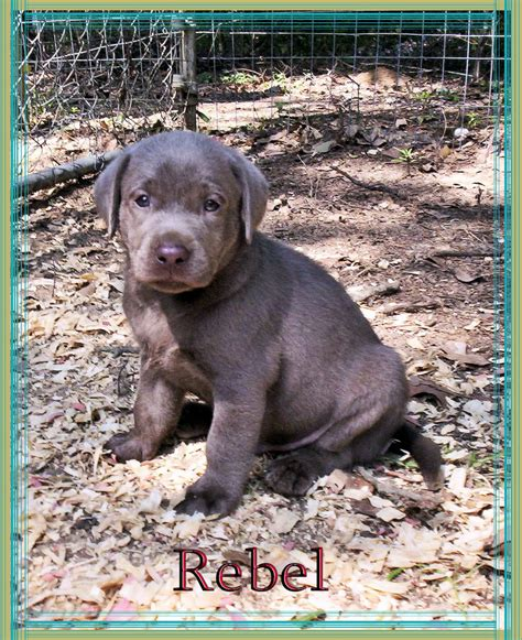 lab puppies for sale in ms silver lab puppys silver lab puppies silver labs for sale mississippi breeds picture