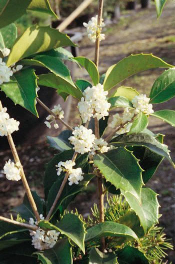 pianta con fiori bianchi molto profumati arbusto selvatico fiori bianchi profumati duylinh for