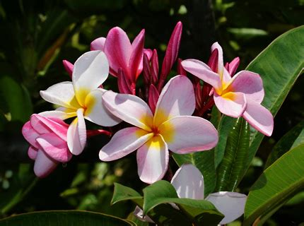 best flowers in the world flowers from hawaii related keywords suggestions for names hawaiian tropical