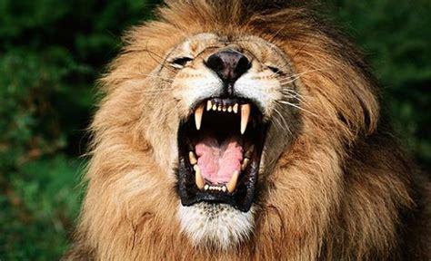 imagenes leones rugiendo imagen de un le 243 n rugiendo foto the sun qu 233 es