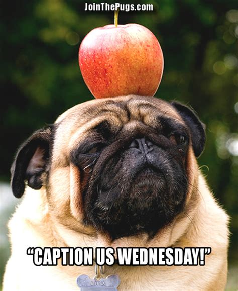pugs with captions join the pugs gt caption us wednesday september 25 2013
