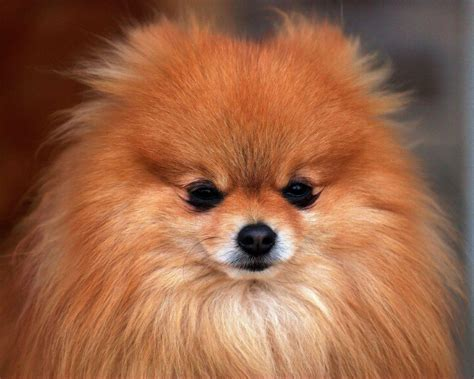 pomeranian pictures pomeranian wallpapers wallpaper cave