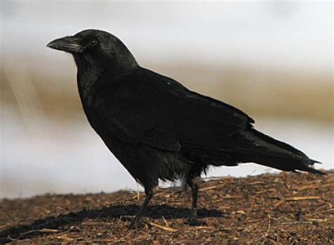 10 interesting crow facts my interesting facts