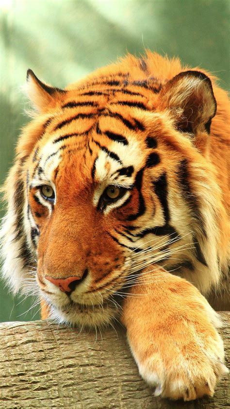 tiger close   wallpapers hd wallpapers id