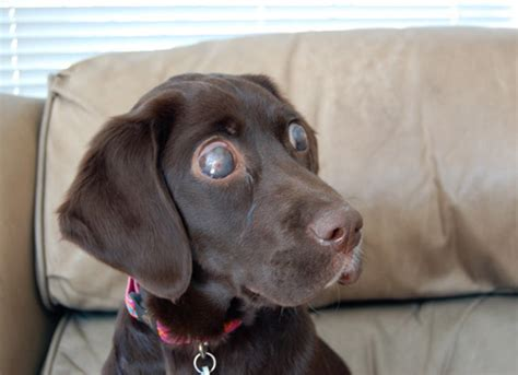 blindness in dogs how treating dogs with degenerative blindness could help blind humans barkpost