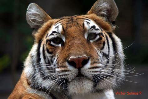 imagenes relajantes de animales animales salvajes im 225 genes y fotos