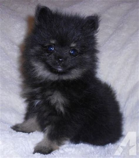 teacup pomeranian oklahoma akc teacup pomeranian 9 weeks for sale in kellyville oklahoma classified