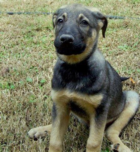 blue heeler german shepherd mix puppies for sale rupert the german shepherd mix pictures 475993