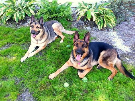 how to take care of a german shepherd puppy german shepherd care dogs in our photo
