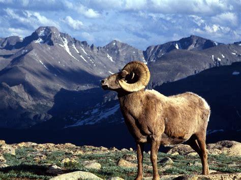 mountain ram big horn ram rocky mountain national park colorado