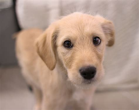 yellow lab mix puppies puppy yellow labrador