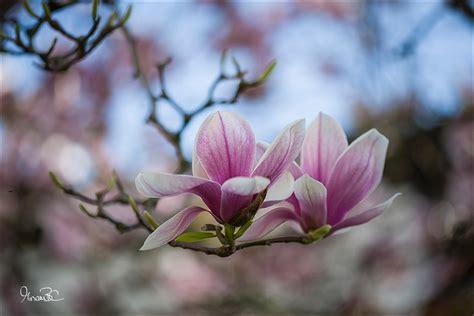 immagini fiori primaverili fiori primaverili