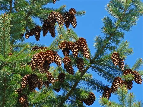 pinecone tree pine tree art prints pine cones blue sky baslee photograph by baslee troutman
