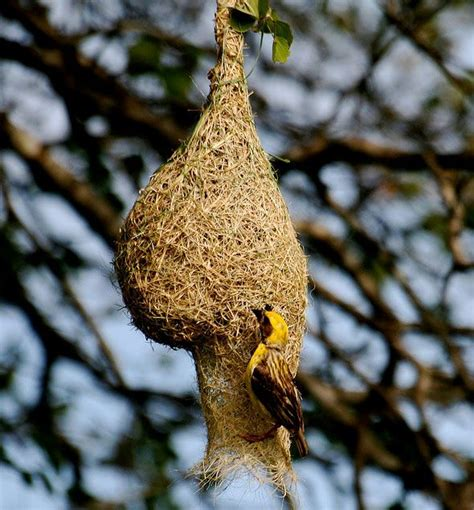 17 best images about nests on pinterest herons the nest and hummingbird nests