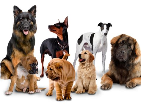 how many breeds are there 4 calmest breeds for those who live in apartment
