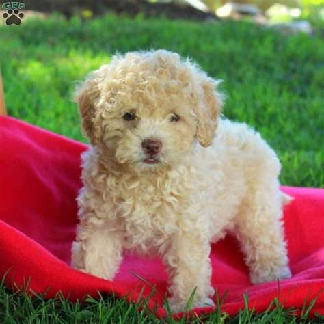 lhasa poo puppies fany lhasa poo puppy for sale in pennsylvania