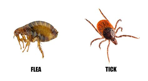 flea and tick fleas vs ticks fleas and ticks