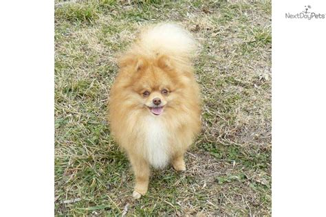 3 pound pomeranian pomeranian 3 to 7 lb picture and price breeds picture