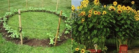 Sunflower Garden Ideas Sunflower Forts Children S Gardens Gardening Tips And Ideas Pinterest Gardens Sunflower