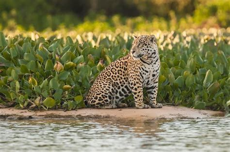 south american jaguar facts south america facts for geography attractions