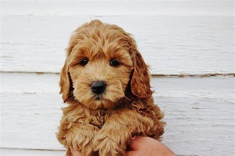 goldendoodle puppy faq 17 migliori idee su mini goldendoodle su