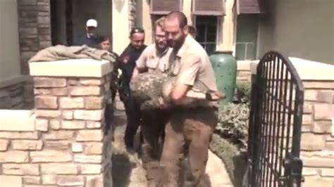 gator dining cus alligator org video texas family finds gator in dining room after
