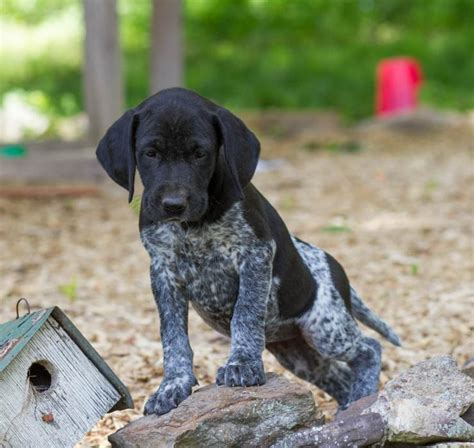 german shorthair puppy craigslist energetic happy german shorthaired pointer mix puppies craigspets