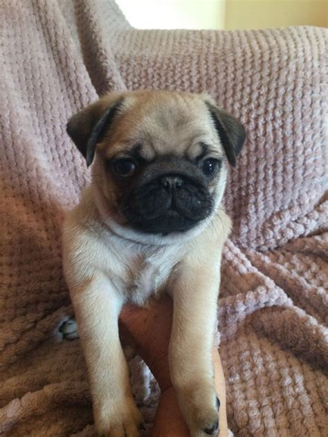 pug puppies for rescue adorable pug puppies for adoption offer 9