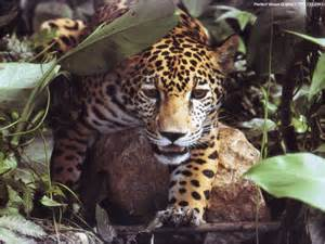 Does A Jaguar Live In The Rainforest Widows To The Universe Image Earth Images Jaguar Gif