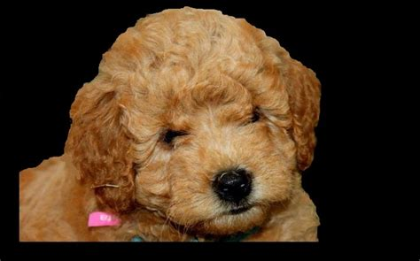mini goldendoodle height doodles and more