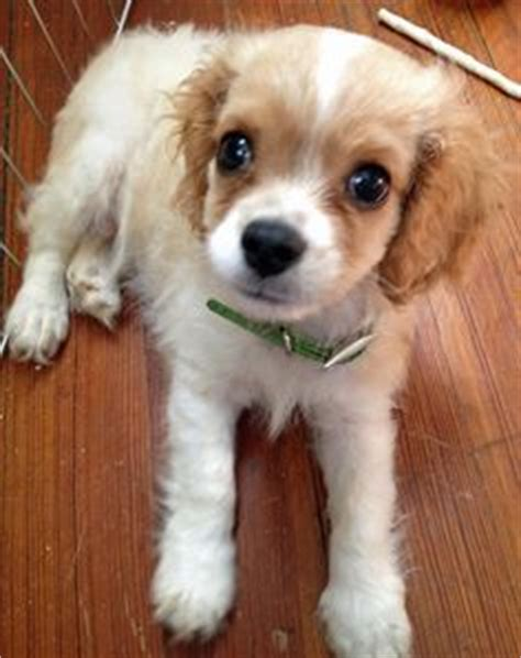 havanese king charles mix huckleberry finn the havanese mix happy havanese huckleberry finn the