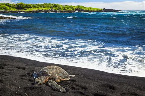black sand beaches hawaii punalu u black sand beach park hawaii reptiles