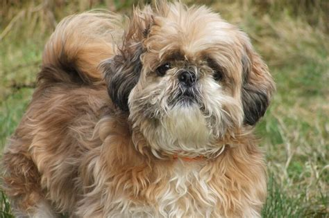 shih tzu health information nail problems breeds picture