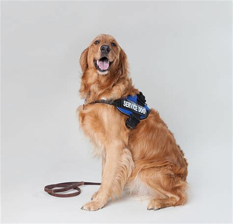 service dogs california is a in a vest really a service california agency labor employment