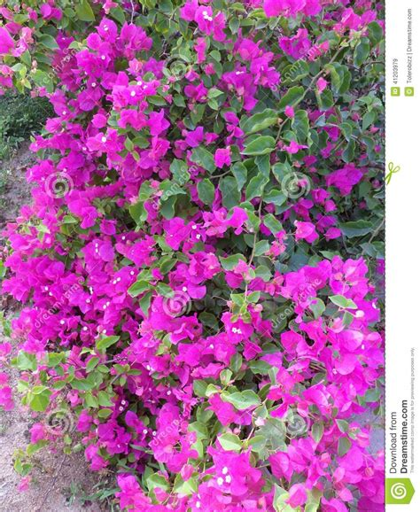 pink flowers on the bushes stock image image of pink
